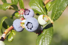 Big and Plump Blueberries Royalty Free Stock Image
