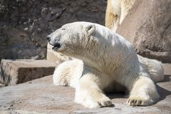 Big polar bear closeup lying having extended paws Stock Images