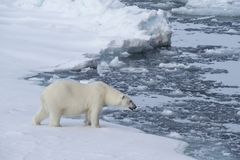 Big polar bear on drift ice edge . Big polar bear on drift ice edge with snow a water in Arctic North Pole royalty free stock photo