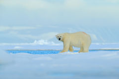 Big polar bear on drift ice edge with snow a water in Arctic Svalbard, big white animal in the nature habitat,  foggy mountain in Royalty Free Stock Photography