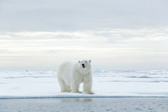 Big polar bear on drift ice edge with snow a water in Arctic Svalbard. Europe royalty free stock photo