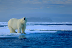 Big polar bear on drift ice edge with snow a water in Arctic Svalbard. Norway royalty free stock image