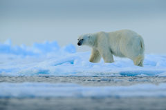 Big polar bear on drift ice with snow in Arctic Svalbard Royalty Free Stock Photo
