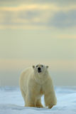 Big polar bear on drift ice with snow in Arctic Svalbard Stock Photo