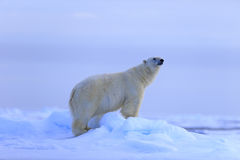Big polar bear on drift ice with snow, blurred sky in background, Svalbard, Norway Stock Photos
