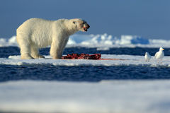Big polar bear on drift ice with snow feeding kill seal, skeleton and blood, Svalbard, Norway. Big polar bear on drift ice with snow feeding kill seal Royalty Free Stock Photography
