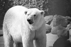 Big polar bear in monochrome tones Stock Photos