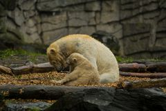 Big polar bear during a rain with the small child. Playful and curious mood at wild animals. Nature. Big polar bear during a rain with the small child. Playful royalty free stock photos