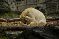 Big polar bear during a rain with the small child. Playful and curious mood at wild animals. Nature. Big polar bear during a rain with the small child. Playful royalty free stock photo