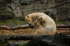 Big polar bear during a rain with the small child. Playful and curious mood at wild animals. Nature. Big polar bear during a rain with the small child. Playful stock photos