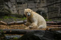 Big polar bear during a rain with the small child. Playful and curious mood at wild animals. Nature. Big polar bear during a rain with the small child. Playful stock photography