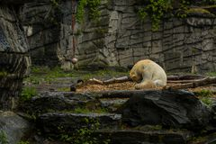 Big polar bear during a rain with the small child. Playful and curious mood at wild animals. Nature. Big polar bear during a rain with the small child. Playful royalty free stock image