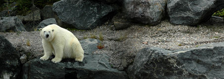 Big polar bear sitting. A panoramic image of a white big polar bear sitting on the left of the picture. Background is black granite stone. Taken in a zoo royalty free stock photography