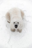Big polar bear in the snow, look predator. Hunting Royalty Free Stock Images
