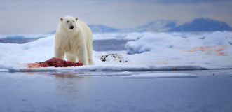 Big Polar Bear. A polar bear stands over his seal carcass in the Svalbard archipelago royalty free stock images