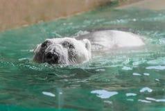 Big polar bear swimming Royalty Free Stock Image