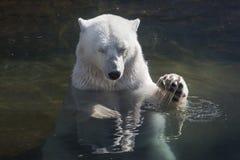 Big polar bear swimming stock photos
