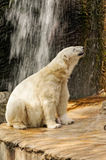 Big polar bear Stock Photos