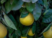 Big pomelo fruit on tree. Pomelo tree full of fruit, with big green leaves. This tree is from a kibbutz in the east of Israel Stock Image