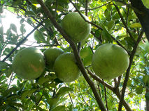 Big pomelo at the tree, grapefruit Stock Photos