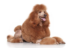 Big Poodle lying on a white background Stock Photography