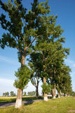 Big poplar trees nearby the road Royalty Free Stock Image