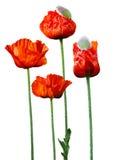 Big Poppy Flower Stock Image