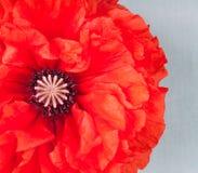 A big poppy flower Stock Photo