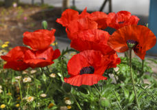 Big poppy flowers in summer garden Stock Images