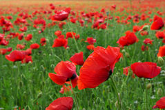 Big poppy meadow Stock Images