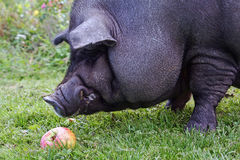A big pot-bellied pig Stock Image