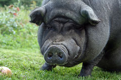 A big pot-bellied pig Royalty Free Stock Image