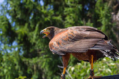 Big and powerful bird of prey hawk Stock Image
