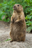 Big prairie dog stading straight Royalty Free Stock Images