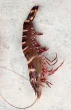 Big prawn Royalty Free Stock Photos