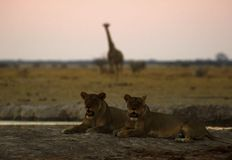 Big pride of lions coming in to drink, giraffe silhouette behind them. The Nxai Pan pride of Botswana walking across the wilderness to the waterhole to drink in stock images