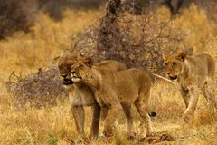 Big pride of lions content in company, coming in to drink. A pride of African lions walking across the wilderness to the waterhole to drink in this hot weather stock photos