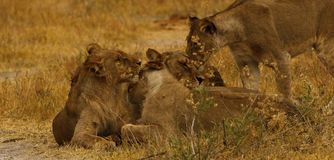 Big pride of lions content in company, coming in to drink. A pride of African lions walking across the wilderness to the waterhole to drink in this hot weather royalty free stock photography