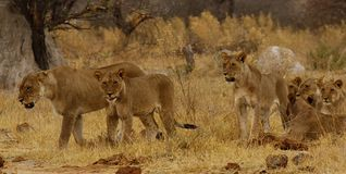 Big pride of lions content in company, coming in to drink. A pride of African lions walking across the wilderness to the waterhole to drink in this hot weather royalty free stock photos