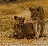 Big pride of lions content in company, coming in to drink. A pride of African lions walking across the wilderness to the waterhole to drink in this hot weather royalty free stock photo