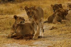 Big pride of lions content in company, coming in to drink. A pride of African lions walking across the wilderness to the waterhole to drink in this hot weather royalty free stock images