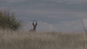 Big Pronghorn Antelope Buck. A nice pronghorn antelope buck on the prairie stock footage