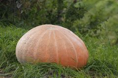 Big pumpkin Stock Image