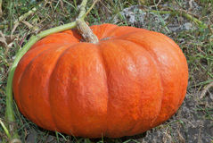 Big pumpkin in a field closeup Royalty Free Stock Photo