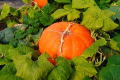 A big Pumpkin on a field Stock Photos