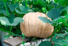 Big pumpkin in the garden. On the end of summer Stock Image
