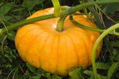 Big pumpkin in garden Stock Images