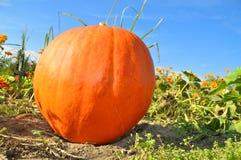 Big pumpkin in garden Royalty Free Stock Image