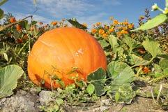 Big pumpkin in garden Royalty Free Stock Photo
