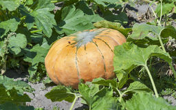 Big pumpkin in the garden. Closeup Royalty Free Stock Image